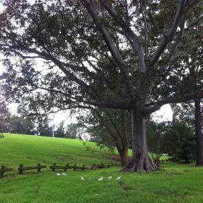 Some corellas beneath a tree standing in what was once Dodd's Farm (the Government Farm) in present-day Parramatta Park. Photo: Michaela Ann Cameron [April 2014]