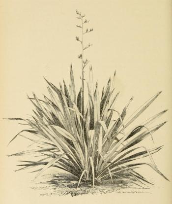 New Zealand and Norfolk Island Flax Plant (Phormium Tenax)